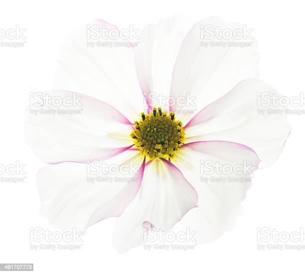 Cosmos flower picture id491707775?b=1&k=6&m=491707775&s=612x612&h=o2mewflsm4d5leyjtgimzlqobhts1ipgwmjlxiydi4m=
