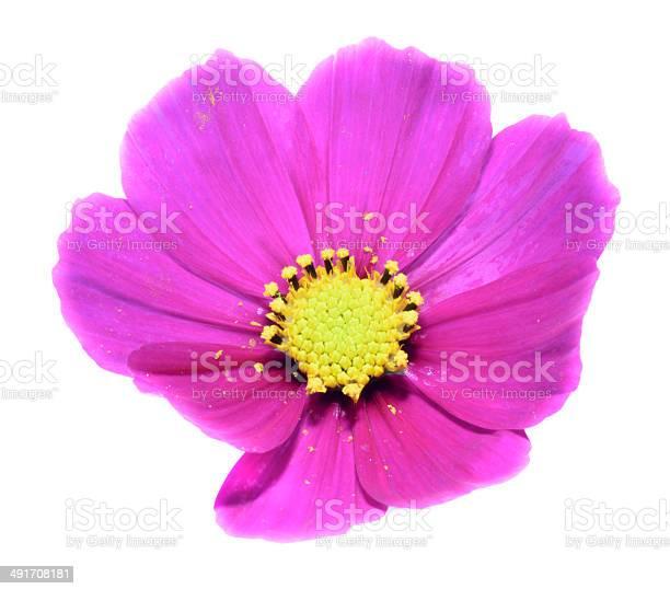 Cosmos flower picture id491708181?b=1&k=6&m=491708181&s=612x612&h=4gafilmg3aaubsawzow6fm5dlw82jjqkmlmoxyawbqw=