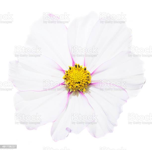 Cosmos flower picture id491708237?b=1&k=6&m=491708237&s=612x612&h=mjlbsahxquk6kdpa7xghoeqdabrexjpjnjn7rd55pz0=