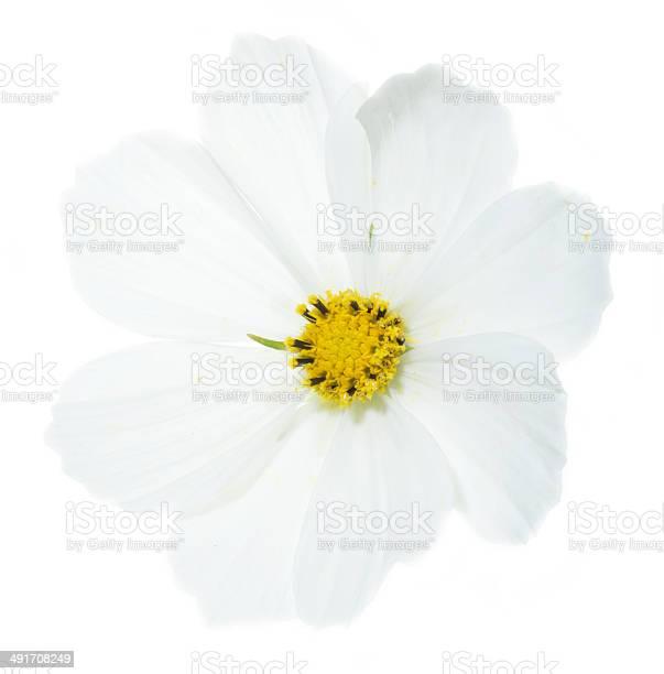 Cosmos flower picture id491708249?b=1&k=6&m=491708249&s=612x612&h=hgcumegtujset4nypqpj2l afofvbhnrwquju7nzhuk=
