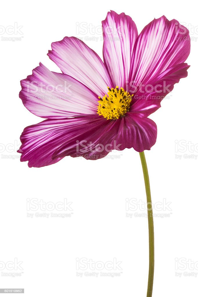 Studio Shot of Fuchsia Colored Cosmos Flower Isolated on White...