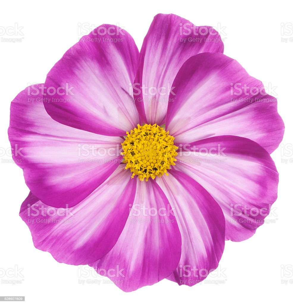 cosmos flower stock photo
