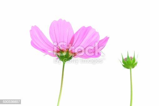 istock Cosmos Flower 530536857