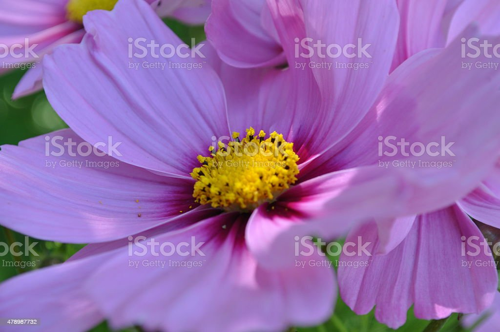 Cosmos Flower, Single, Angled View stock photo