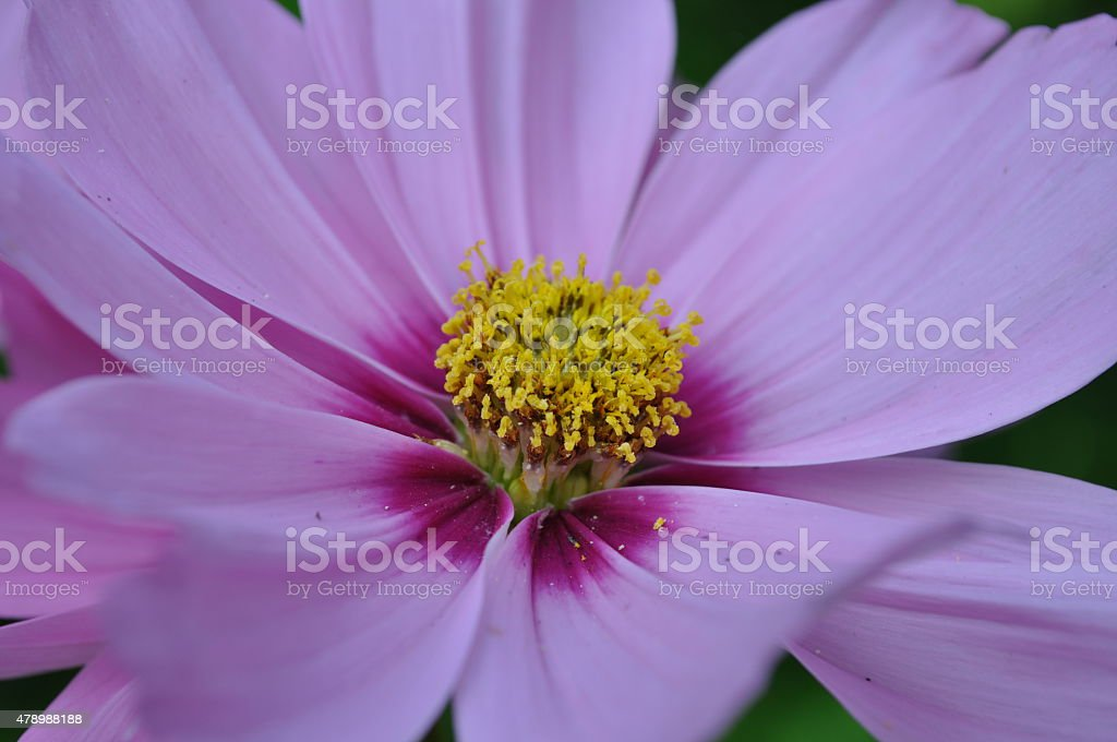Cosmos Flower, Single, Close-Up Image stock photo