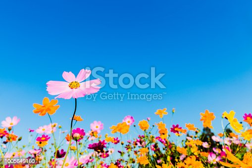 Cosmos Flowers On The Beautiful Day