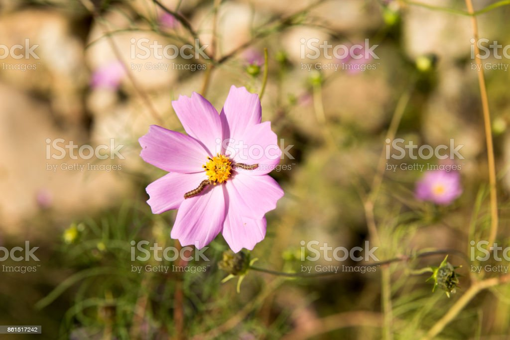 Cosmos flowers and 2 worms stock photo