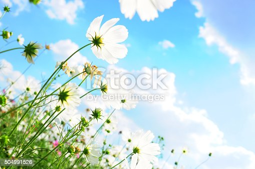 White cosmos flowers and the blue sky.