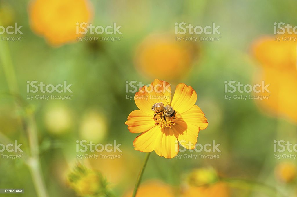 Cosmos flowers, bee stock photo