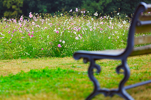 Astonishing Cosmos Flowers Blooming In The Garden And Bench Stock Photo Machost Co Dining Chair Design Ideas Machostcouk