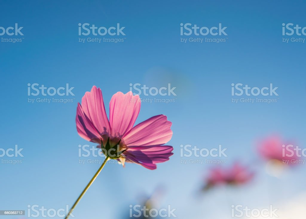 Cosmos flowers blooming in the garden royalty-free stock photo