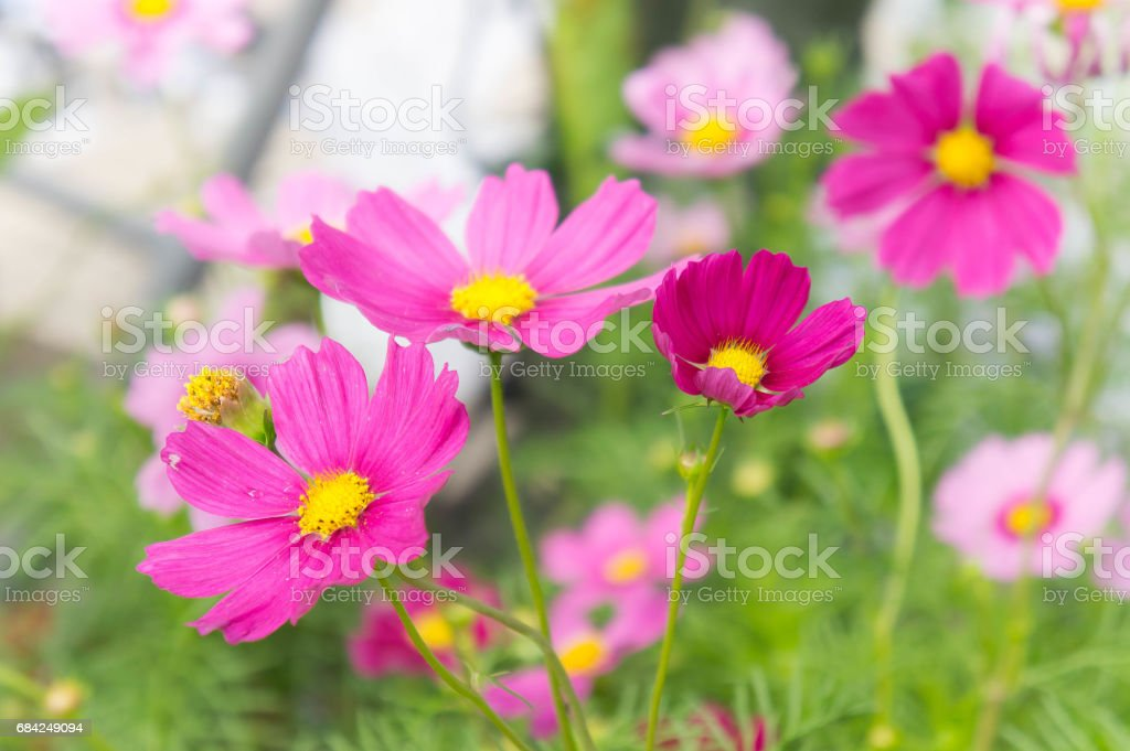 cosmos flowers , blossom flowers , flowers in the garden royalty-free stock photo