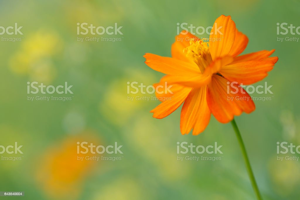 Cosmos flowers Close-up stock photo