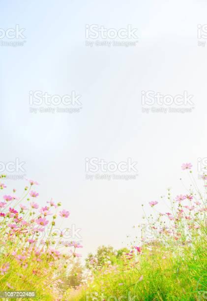 Cosmos flowers field on blue sky background picture id1087202486?b=1&k=6&m=1087202486&s=612x612&h=faspwmk2fx4vmc7bhrqvxc2b23lzumuca0czuft7la4=
