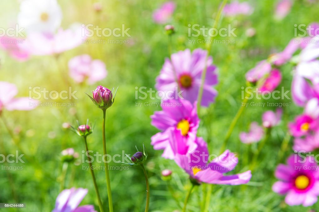 Cosmos flowers in the garden royalty-free stock photo