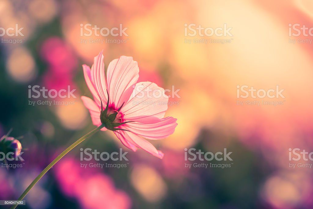 Cosmos flowers on garden stock photo