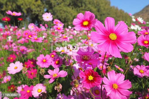Colorful cosmos flowers blooming in the garden.
