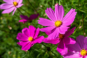 Cosmos flowers in an English country garden.