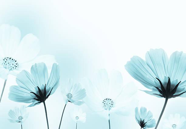 Cosmos flowers - foto de stock