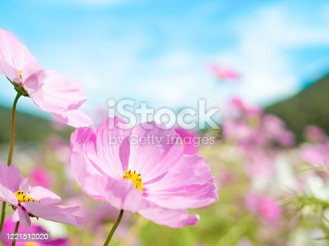 Cosmos flowers under blue sky