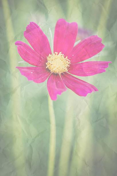 Kosmos Blumen vintage – Foto