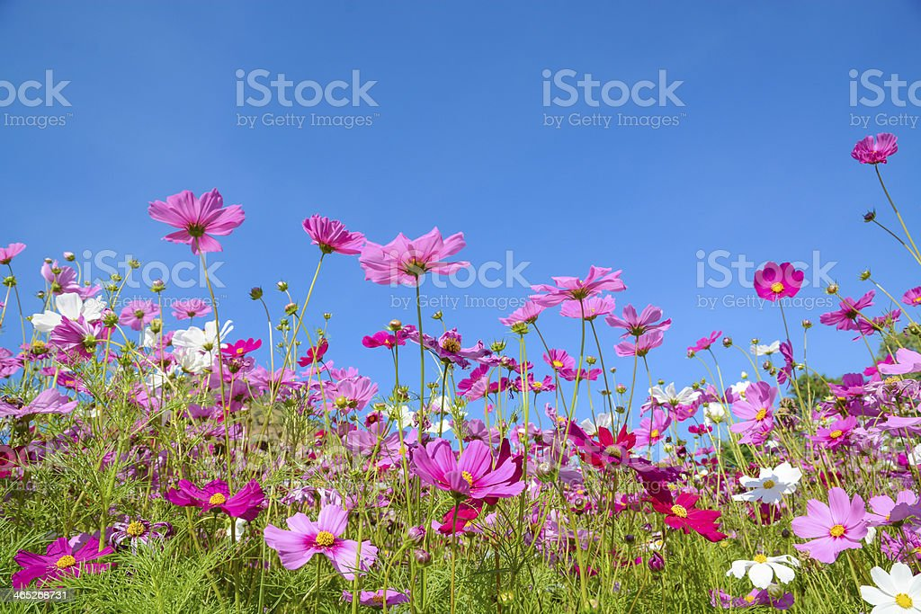 Cosmos flowers with the blue sky stock photo