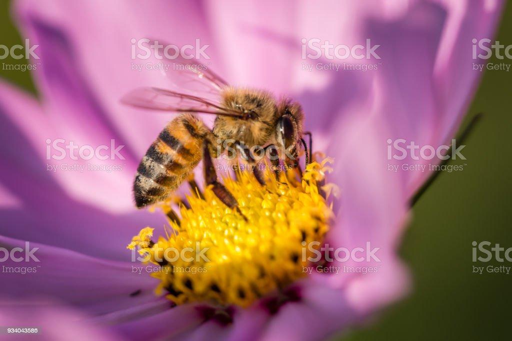 Cosmos Honey Bee stock photo