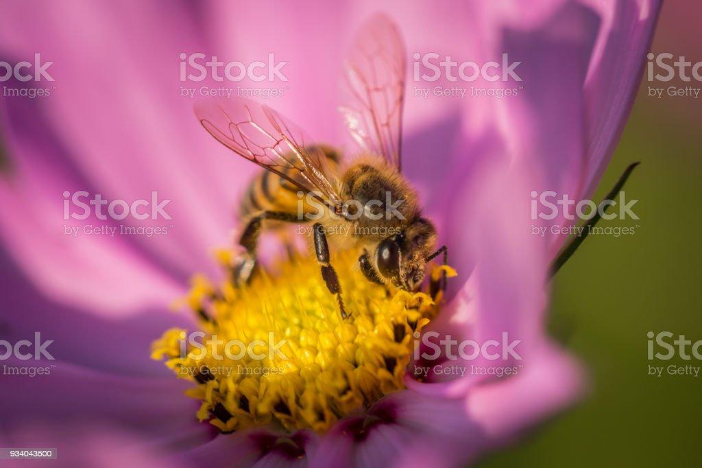 Cosmos Honey stock photo