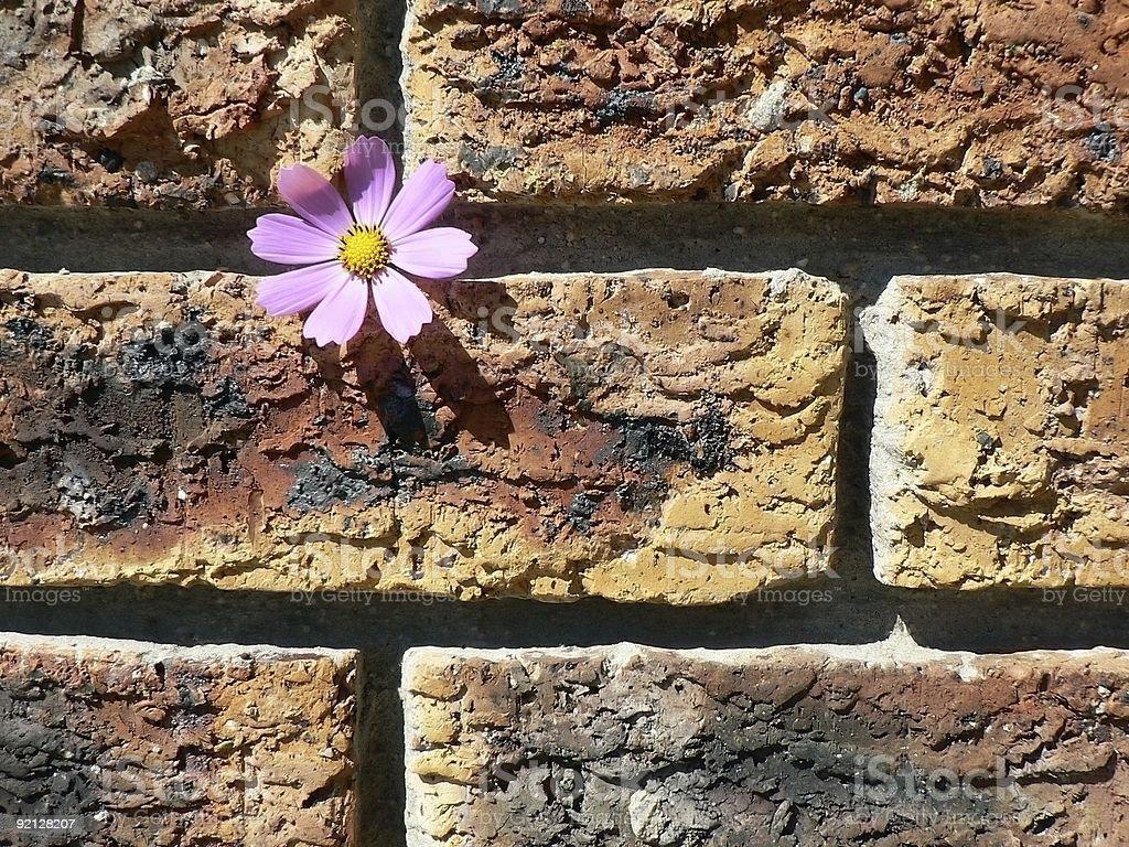 Cosmos on Brick Wall stock photo