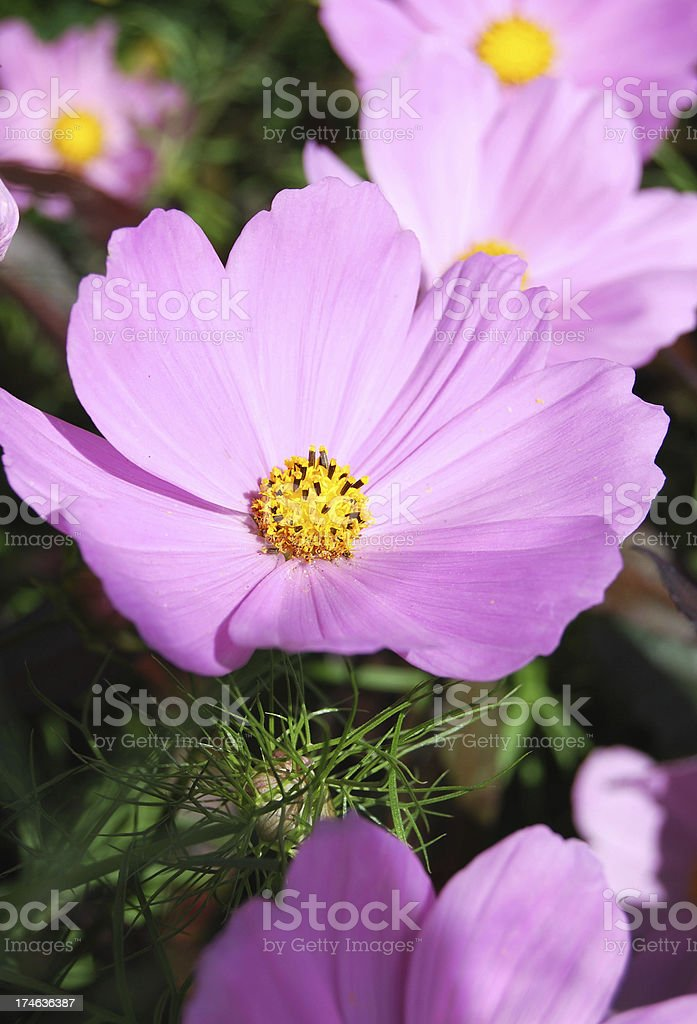 Cosmos or Mexican Aster stock photo