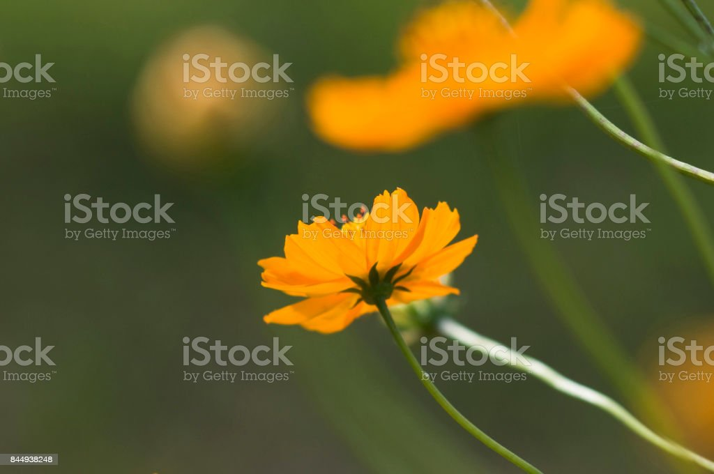 Cosmos stock photo