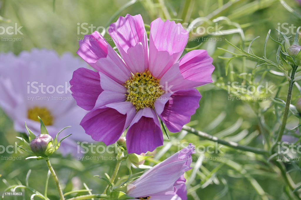 Cosmos sea shells flowers royalty-free stock photo