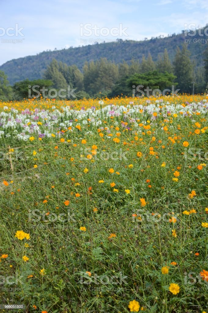 Cosmos Sulphureus Blume im Garten der Natur - Lizenzfrei Baumblüte Stock-Foto