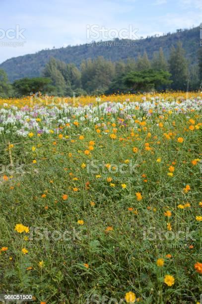 Cosmos Sulphureus Blume Im Garten Der Natur Stockfoto und mehr Bilder von Baumblüte