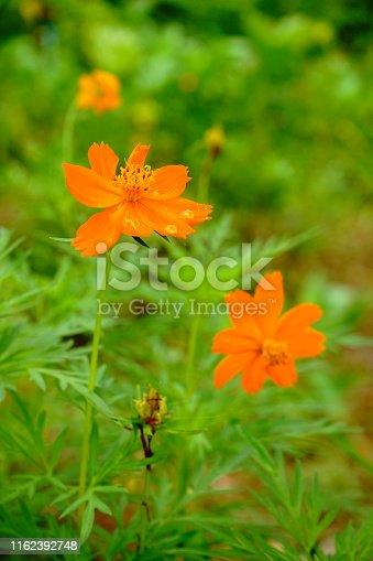 Thailand, Backgrounds, Close-up, Flower, Horizontal
