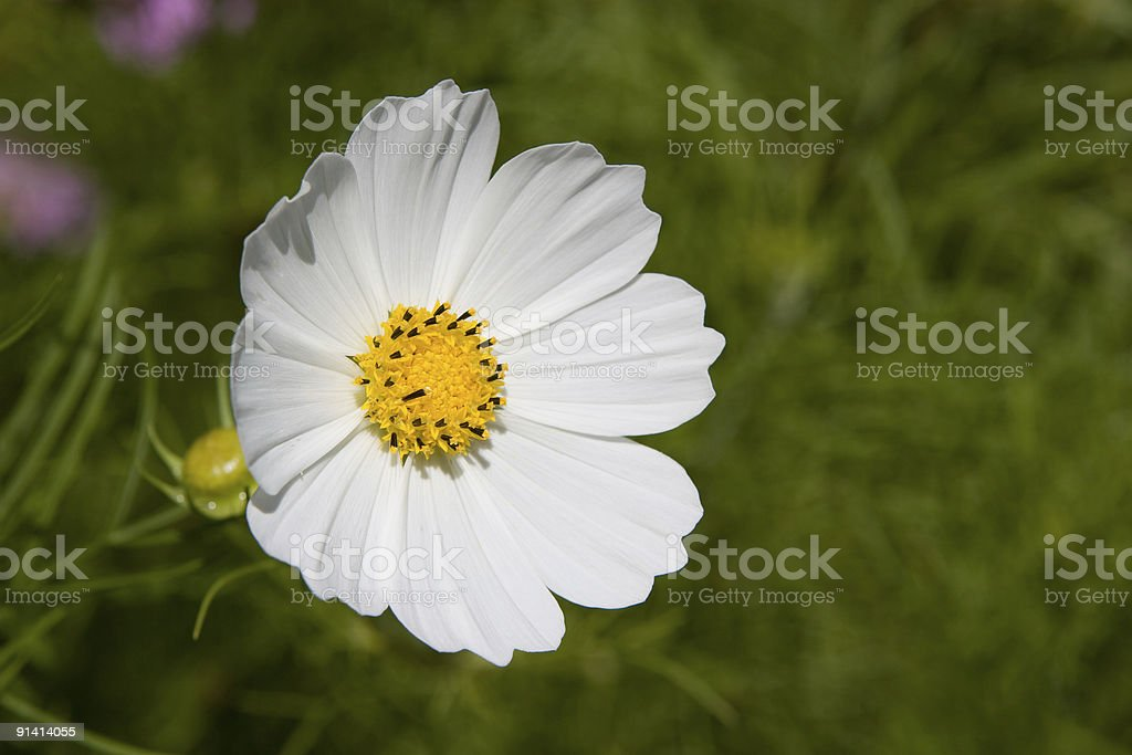 Cosmos White Flower stock photo