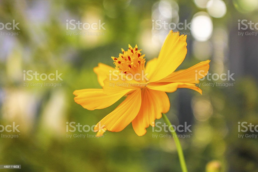 Cosmos yellow flower stock photo