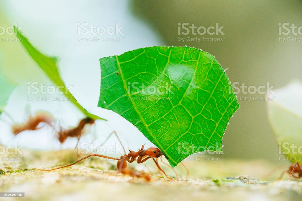 Costa Rica Leaf Cutter Ants Working Together Cahuita National Park stock photo
