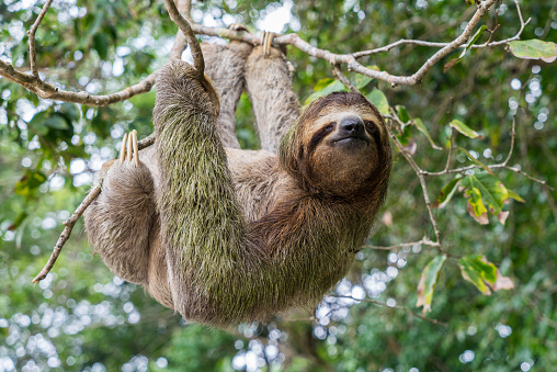 Sloth hanging from a tree in Costa Rica