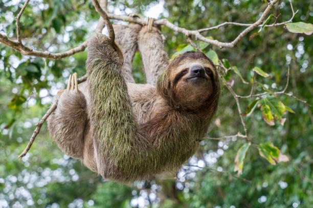 costa rica luiaard opknoping van boom - lazy stockfoto's en -beelden