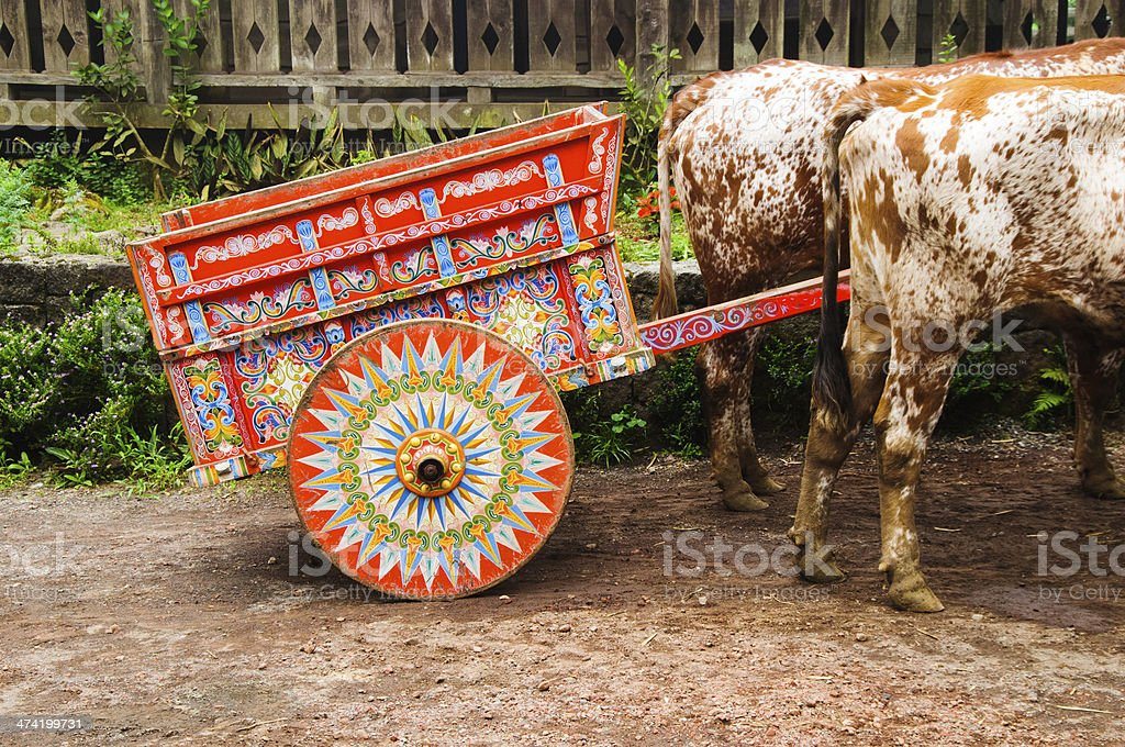 Costa Rican Oxen stock photo