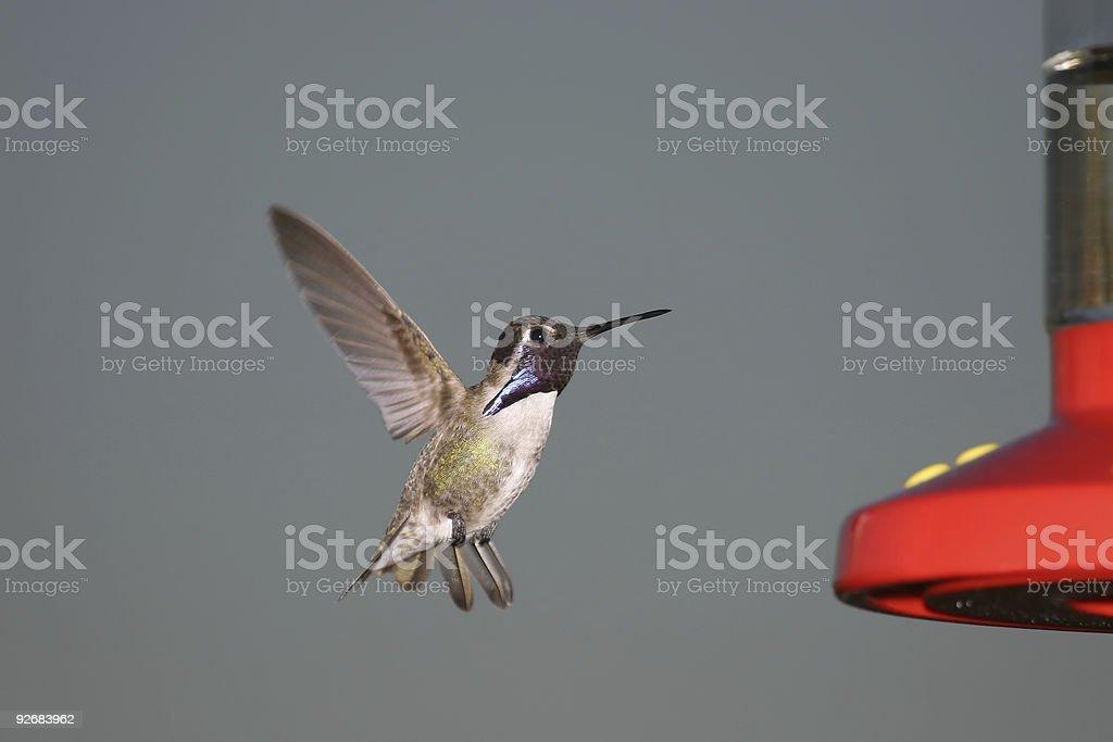 Costas Hummingbird stock photo