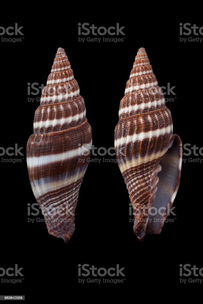 Costellaria cruentata - Royalty-free Animal Shell Stock Photo