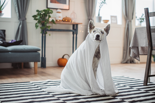 Dog wearing costume of ghost at home for Halloween