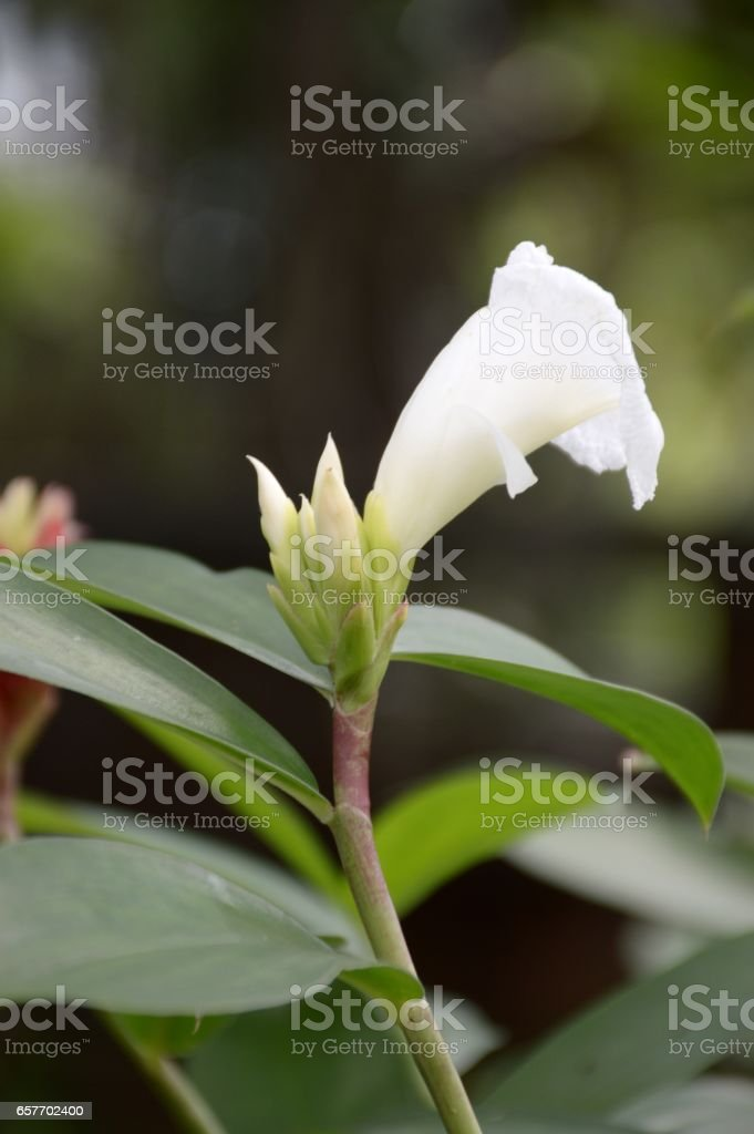 costus speciousus flower stock photo