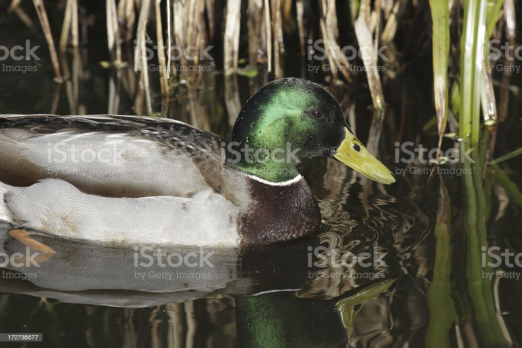 Colourful male mallard duck swimming with reed reflections royalty-free stock photo
