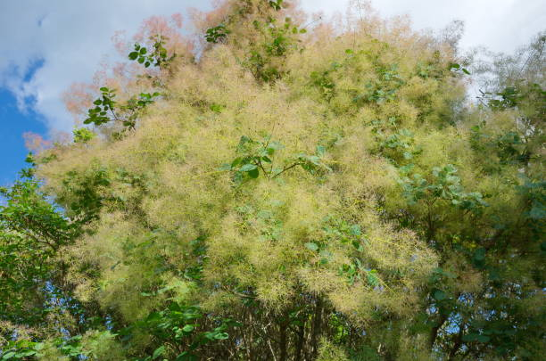 cotinus coggigria blüten im sommer - perückenstrauch stock-fotos und bilder