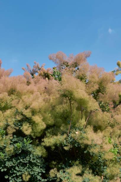 cotinus coggygria - perückenstrauch stock-fotos und bilder