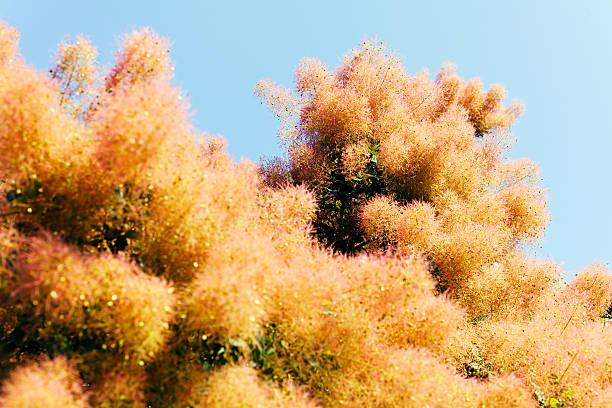 cotinus  coggygria, purple rujevine - perückenstrauch stock-fotos und bilder
