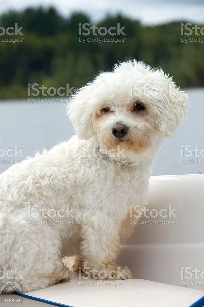 Coton de Tulear enjoying a boat ride. royalty-free stock photo